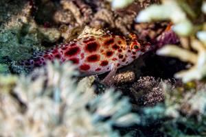 Korallenwächter - Cirrhitichthys oxycephalus