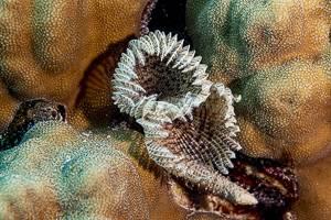 Röhrenwurm - Sabellastarte magnifica