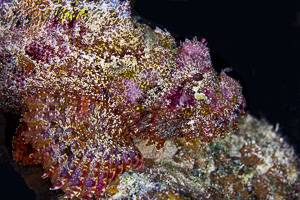 Tasseled Scorpionfish - Scorpaenopsis oxycephala