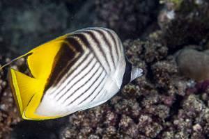 Fähnchen Falterfisch - Chaetodon auriga