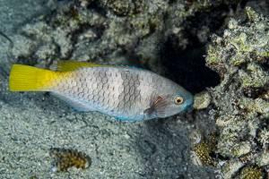 Rusty parrotfish - scarus ferrugineus