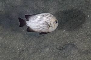 Dreifleck Preußenfisch - Dascyllus Trimaculatus