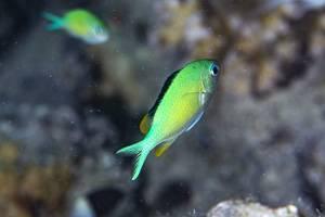 Juwelen Fahnenbarsch - Chromis viridis