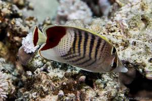 Rotfleck Falterfisch - Chaetodon Paucifasciatus