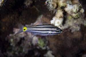 - Cheilodipterus quinquelineatus