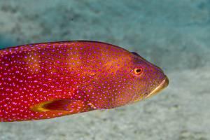 Common Lyretail-cod -
