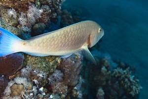 Candelamoa Parrotfish - Hipposcarus harid