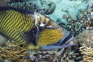 Dotty triggerfish - Balistoides viridescens