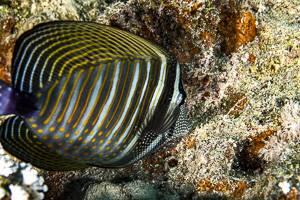 Red Sea Sailfin Tang - Zebrasoma desjardinii