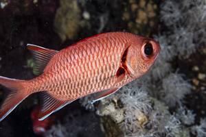 Pinecone Soldierfish - Myripristis murdjan