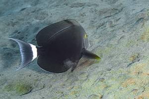 Black Surgeonfish - Acanthurus gahhm