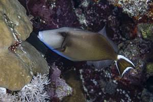 Bluethroat triggerfish - Sufflamen albicaudatum