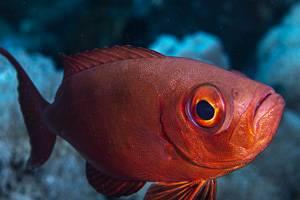 Riff Großaugenbarsch - Priacanthus hamrur