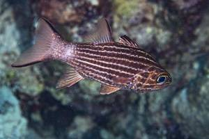 Large toothed cardinalfish - Cheilodipterus macrodon