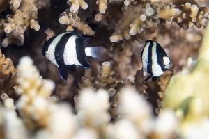 Dreibinden Preußenfisch - Dascyllus aruanus