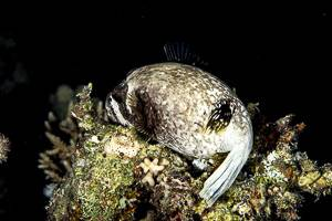 Masked puffer - Arothron diadematus