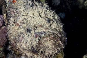 Stonefish - Synanceia verrucosa