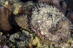 Steinfisch - Synanceia verrucosa