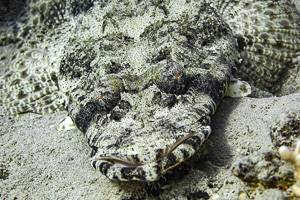 Tentacled flathead - Papilloculiceps longiceps