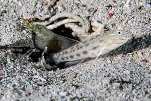 Seychelles shrimpgoby - Ctenogobiops maculosus