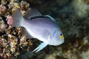 Yellowfin soapfish - Diploprion drachi