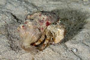 Bernard l'ermite à yeux verts - Dardanus pedunculatus