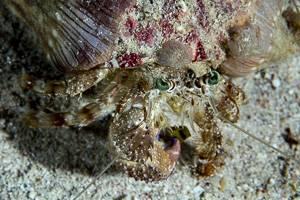 Anemonen Einsiedlerkrebs - Dardanus pedunculatus