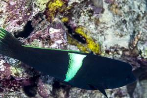 Spiegelfleck Lippfisch - Coris aygula