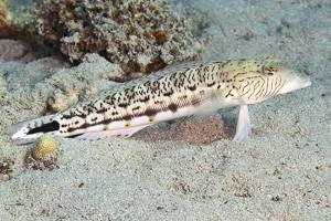 Speckled sandperch - Parapercis hexophtalma