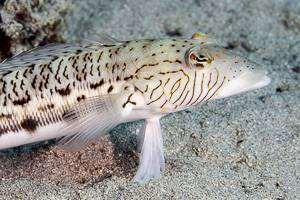 Schwanzfleck Sandbarsch - Parapercis hexophtalma
