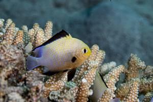 Rotmeerpreussenfisch - Dascyllus marginatus