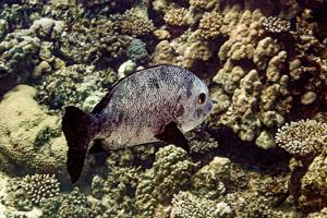 Black and white snapper - Macalor niger
