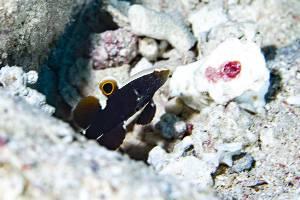 Whitecap goby - Lotilia graciliosa
