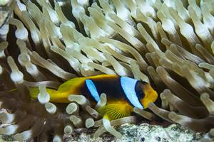 Twoband anemonefish - Amphiprion bicinctus