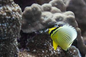 Melon Butterflyfish - Chaetodon trifasciatus