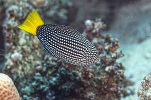 Spotted Wrasse - Anampses meleagrides
