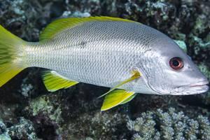 One-spot snapper - Lutjanus monostigma