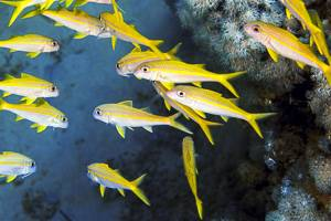 Meerbarbe - Mulloidichthys flavolineatus