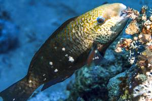Bullethead Parrotfish - Chlorurus sordidus