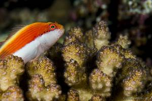 Forsters Korallenwächter - Paracirrhites forsteri