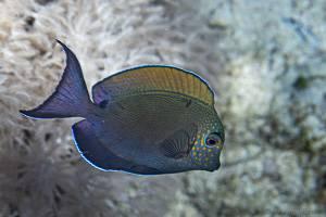 Brown Surgeonfish - Acanthurus nigrofuscus