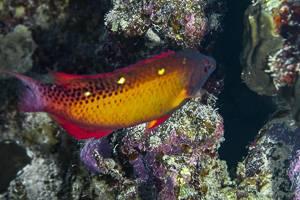 Diana's Hogfish - Bodianus diana