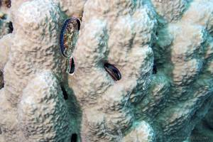 Huître corallicole - Pedum spondyloideum