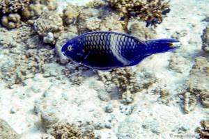 Purple-brown parrotfish - Scarus fuscopurpureus
