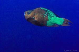 Blue Rainbow - Scarus guacamaia