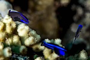 - Pseudochromis springeri