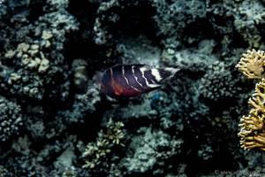 Rotbrust Prachtlippfisch - Cheilinus fasciatus