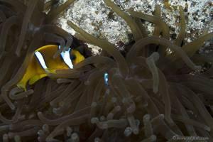 Rotmeer Anemonenfisch - Amphiprion bicinctus