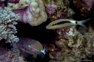 Long-barbel goatfish - Parupeneus macronemus