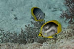 Schwarzrücken Falterfisch - Chaetodon melannotus